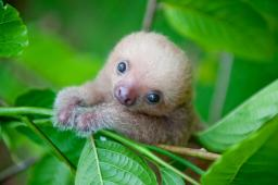 Abandoned, Rescued and Adorable Baby Sloths