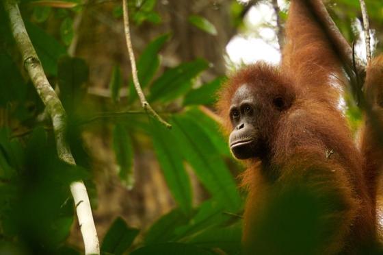budi orphaned orangutan