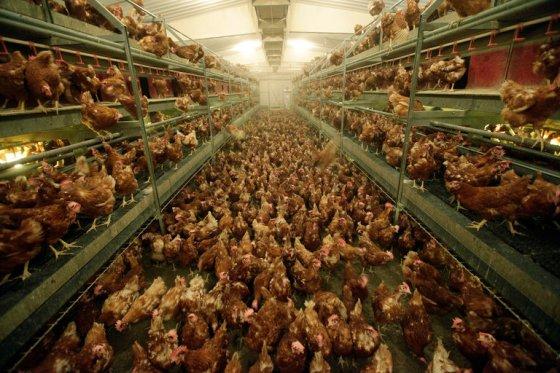 chickens aviaries