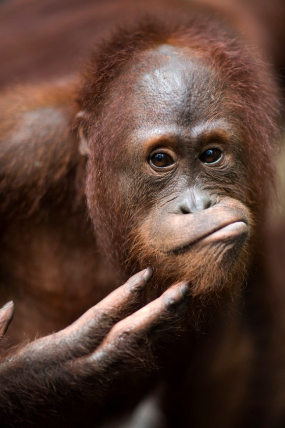 Close up portrait of a wild adolescent male orangutan scratching his chin in Tanjung Puting National Park, Kalimantan, Indonesia.