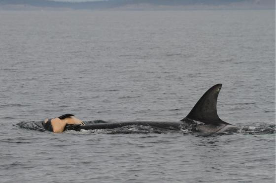 whale mom mourns dead baby