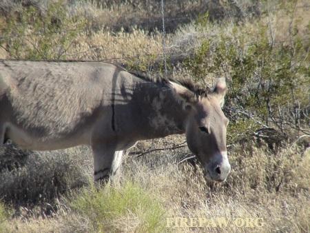 wild-burro-stamped-firepaw