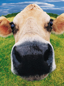 cow face2