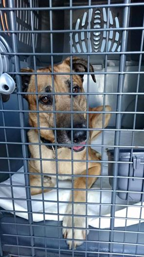 dog who adopted flight atendant in cage.jpg