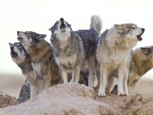 wolf pack howls