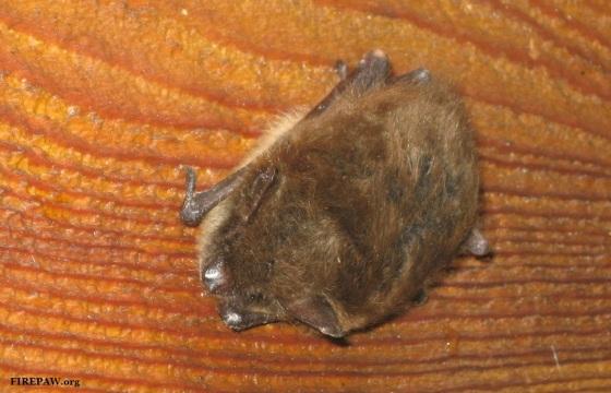 bat-stamped-firepaw