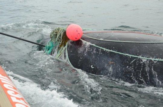 whale entangled