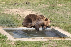 bear-gjina
