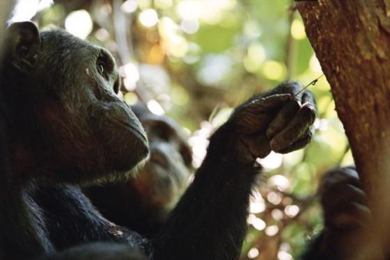 chimp-pensive