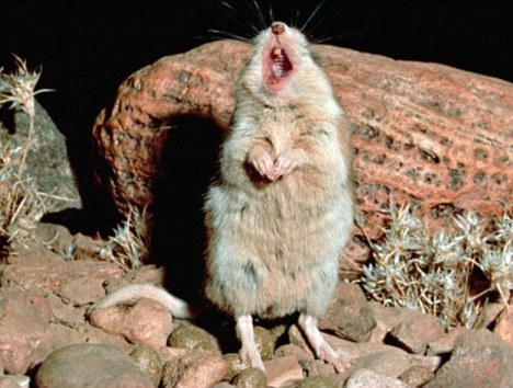 Southern Grasshopper Mouse (Onychomys torridus) male singing on its territory, Chihuahua Desert, Mexico