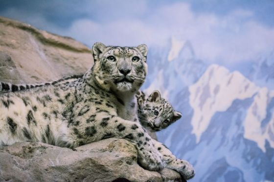 snow-leopard-and-cub