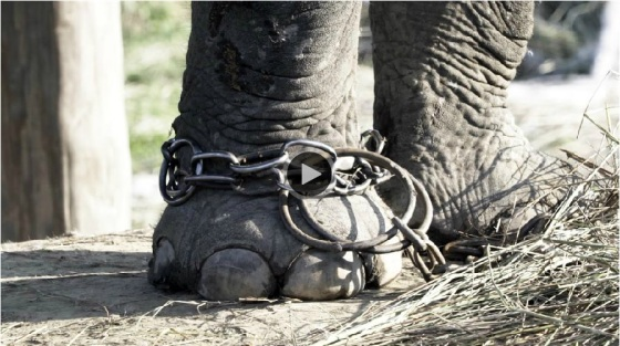 captive-elephant-chained