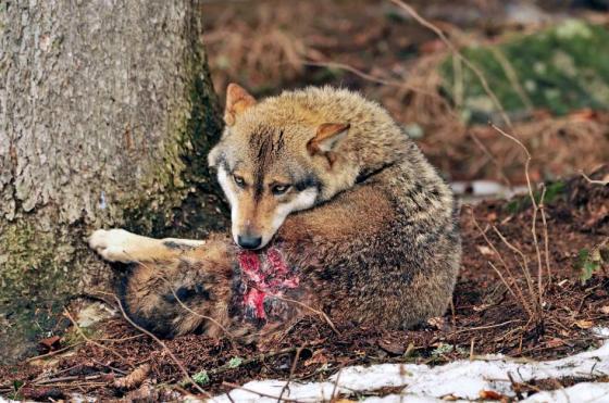 animals-fee-pain-wolf-ijured