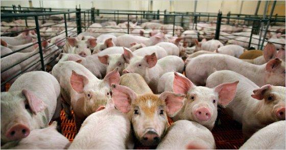 pigs-factory-farm