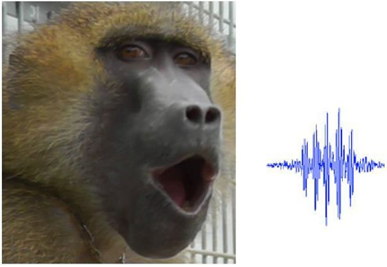 baboon-vocalizing