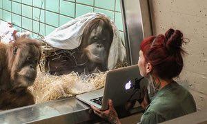 orangutan-on-tinder
