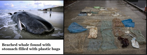 beached-whale-found-with-stomach-full-of-plastic-bags