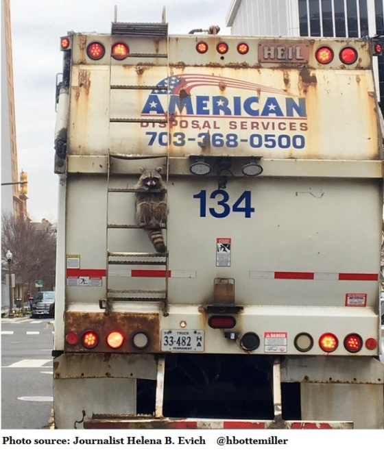 raccoon-hitches-ride-on-garbage-truck