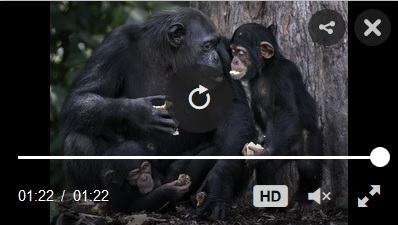 retired lab chimps video