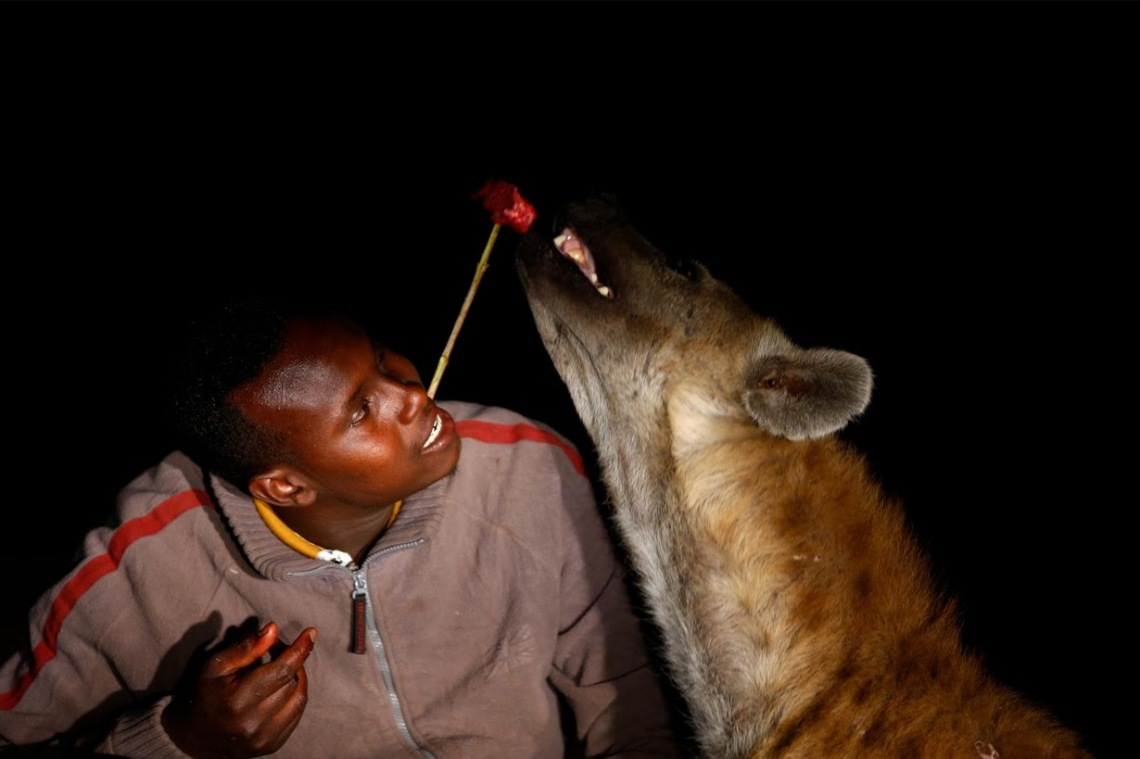 hyena man feeds hyenas from his mouth