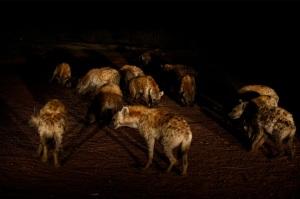 hyena pack
