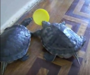 turtles play fetch
