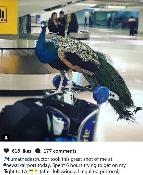 peacock comfort animal banned by airlines
