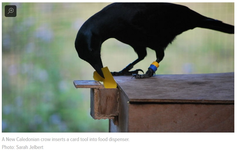 crow tool making from memeory