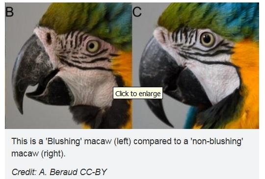 macaws blushing