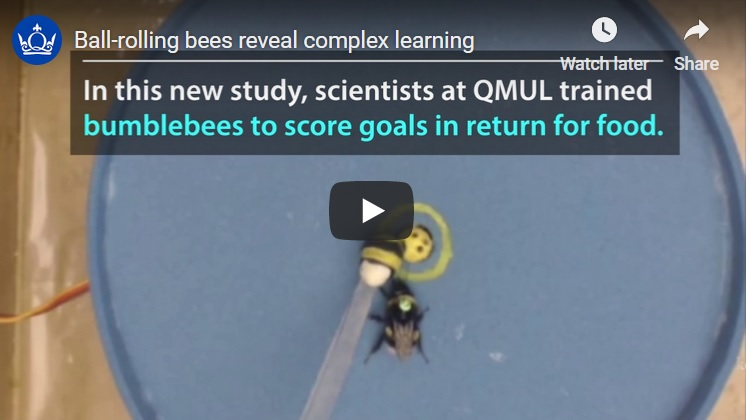 Bumblebees score goals for food