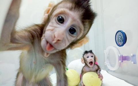 cloned monkeys 2