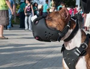 pitbull with muzzle