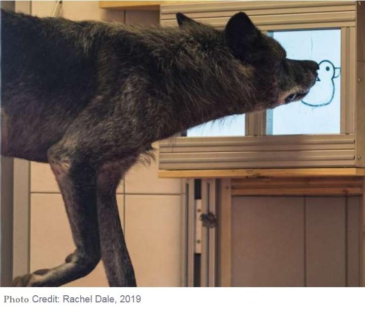 wolves prosocial study-2