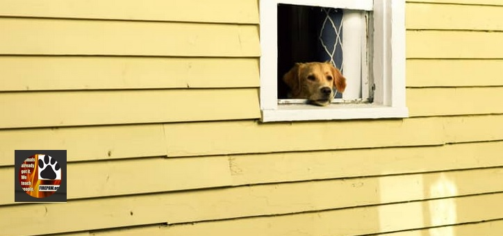 dog looks out window
