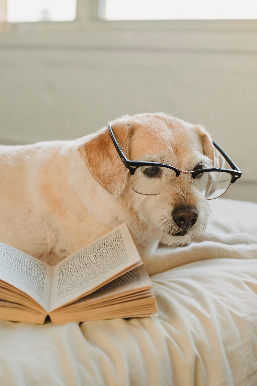 funny dog in glasses resting on bed with book